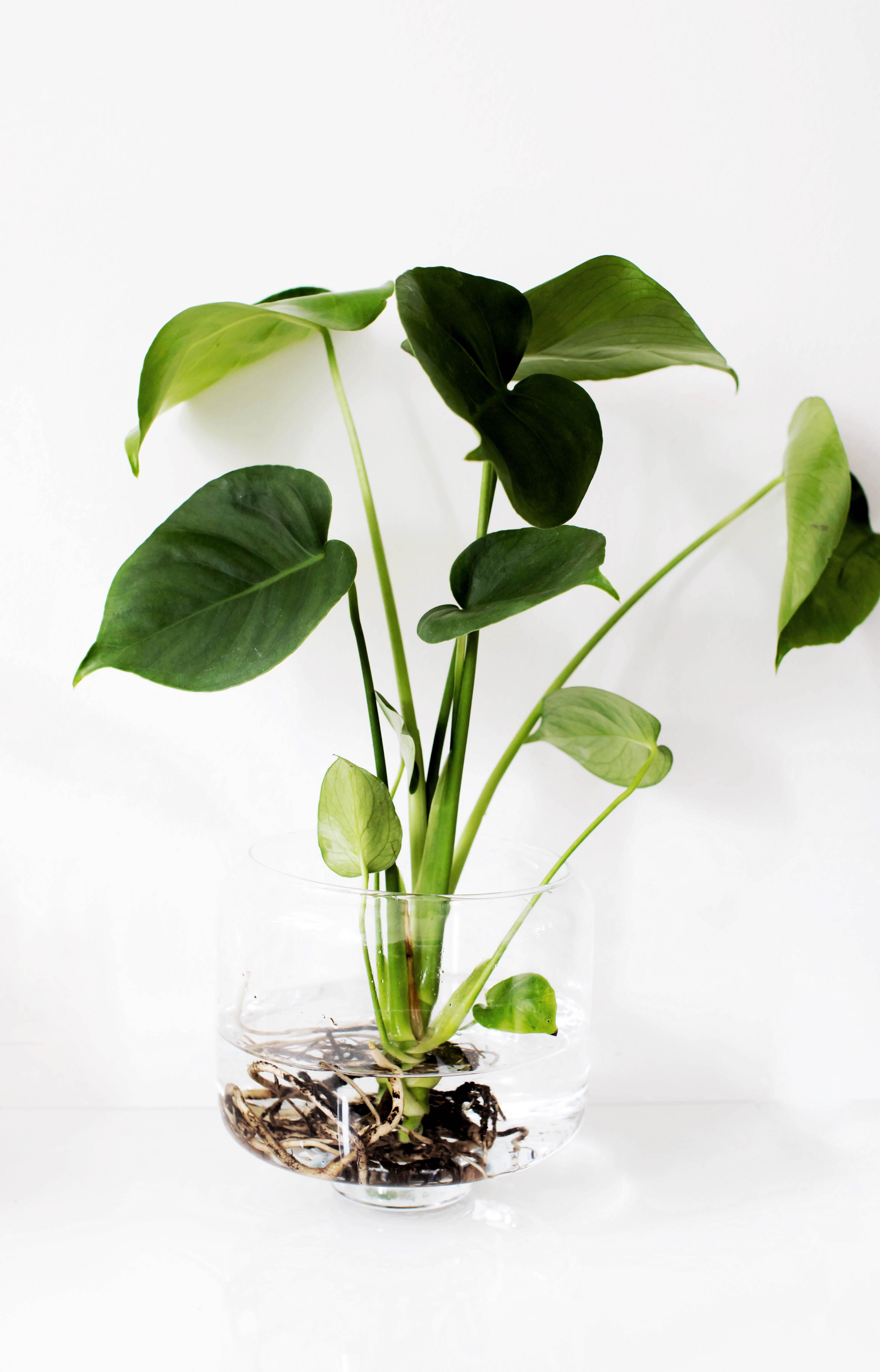 Pflanzentrend WaterPlants. Pflegeleichte Zimmerpflanzen für das Büro oder zu Hause.